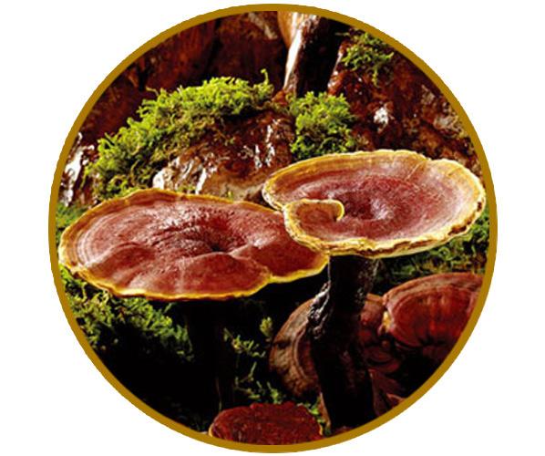 Nấm Lim Xanh Tự Nhiên | 100% nguyên sinh rừng Quảng Nam