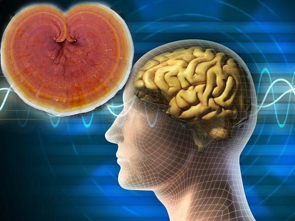 [Linh Chi Đỏ Có Tác Dụng] gì đối với hệ thần kinh trung ương